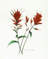 Indian-Paintbrush-2