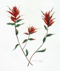 Indian-Paintbrush-3
