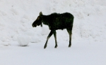 Moose-in-Winter