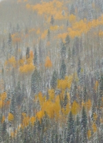 First Snow on Aspens