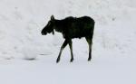 Moose-in-Winter