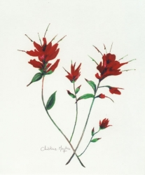 Indian-Paintbrush-1