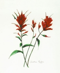 Indian-Paintbrush-2