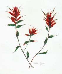 Indian-Paintbrush-3