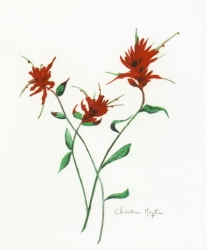 Indian Paintbrush 4